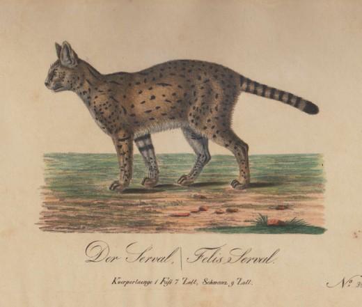 1830 Serval Cat