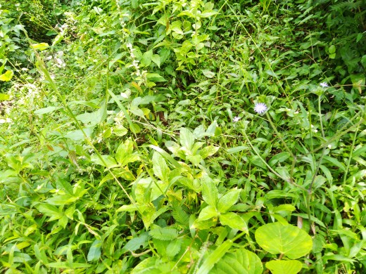Composite weed biomass in tropical South India