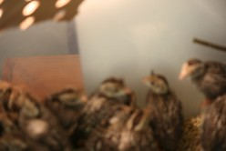 Baby Quail seek the heat of the lamp, be sure to position it so they won't be burned.  Keep the heat of their container at 90 degrees at first, then reduce by five degrees each week.