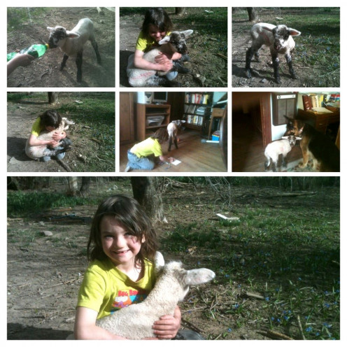 Freckles was our first lamb, a bum lamb (orphan) from a neighboring farm.