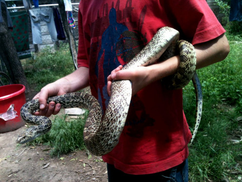 """Springtime is snake season! This is a beloved """"pet"""" bullsnake who lived in our yard, limiting both rats and rattlesnakes."""