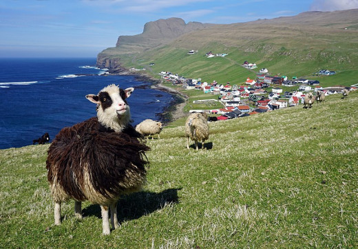 Faroese sheep helped in the campaign to get the Faroes mapped by Google.