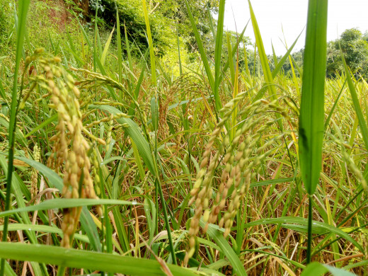 Golden harvest of paddy