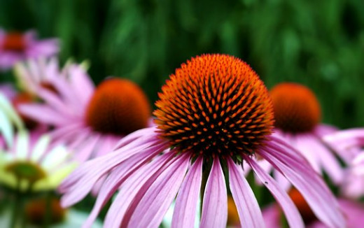 Herbs like echinacea have powerful healing properties and benefits for the body.