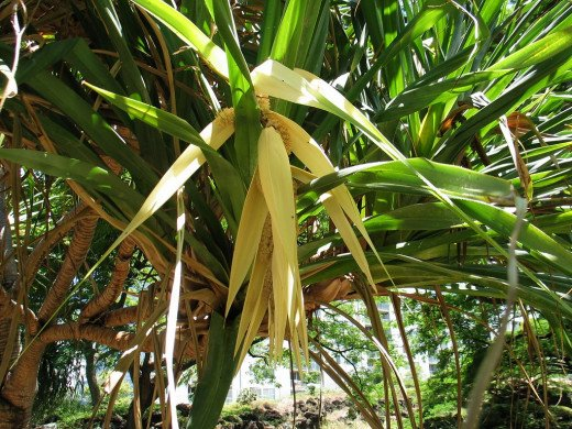 Pandanus flowers are holy offerings to serpent God
