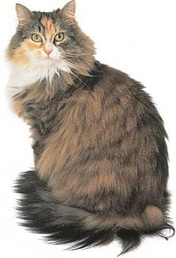 Maine Coon Cat...Secrets Most Breeders Won't Tell You