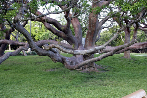 The Tourist Tree - Gumbo Limbo