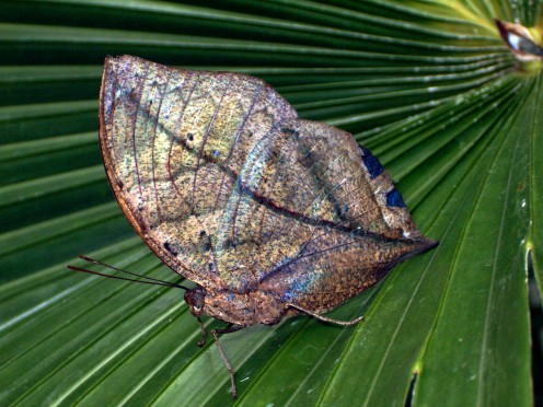 This butterfly is mimicking a dead leaf, as a protective measure. The inside colors are amazing though.