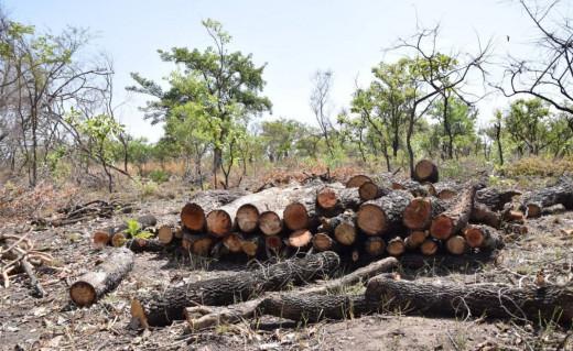 Logs felled by charcoal burners in Palaro, Gulu district, Uganda, February 13, 2019