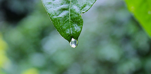 Dripping oil from leaf