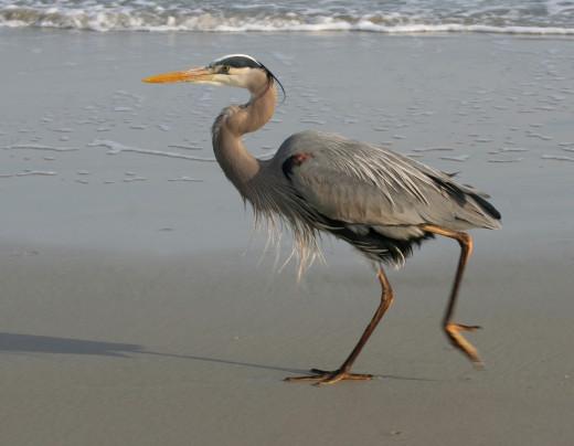 Blue Heron on a local beach.