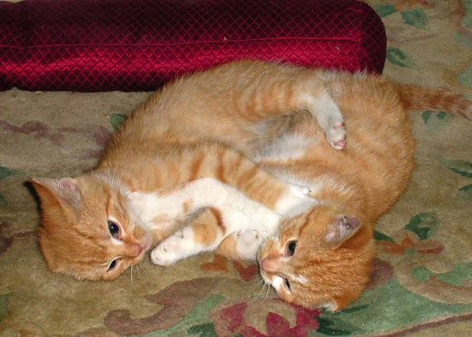 Two ginger cats fighting.