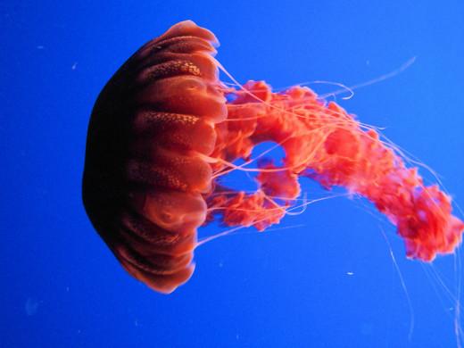 Black sea nettle at the Monteray Bay aquarium.