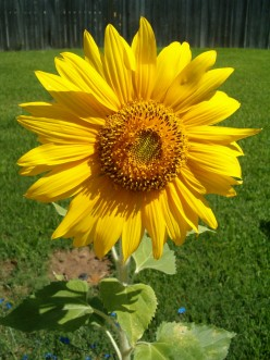 One of my favorite sunflowers my son and I planted together in Texas one year!