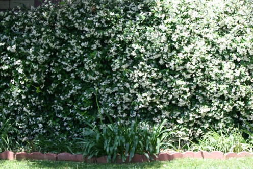 The outer wall of this garden runs 80 feet long, and every inch is covered with the heavenly scented White Star Jasmine!  Within this fragrant area we have a Jacuzzi Hot Tub.  The stars above winking in the night, out sparkling our firelit torches!