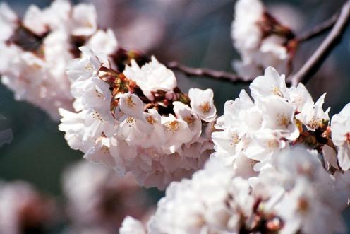 """Cherry Blossoms"" by Arnob Alam"