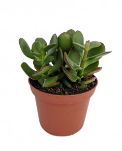 How to Grow a Jade Plant (Crassula Ovata)