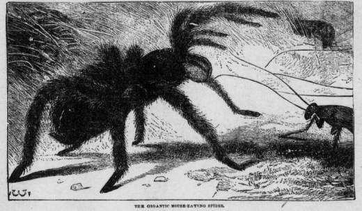 Apazacua Spider