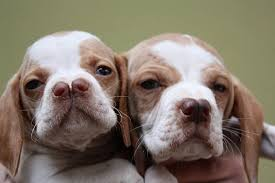 Double-Nosed Dogs
