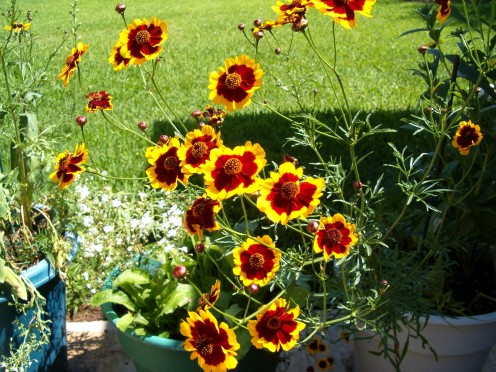 I think these might be a form of coreopsis flowers, frown from seed.