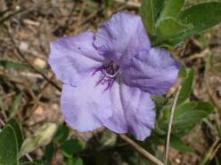 Wild Petunia, Ruellia Strepens, Acanthus family.