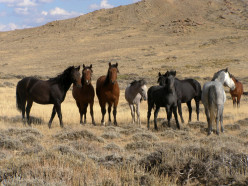 The Newest Assault on Wyoming's  Wild Horses Another Step Toward Extinction.