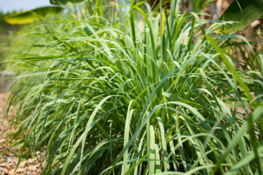 Lemongrass has mosquito repelling properties, as does lavender.