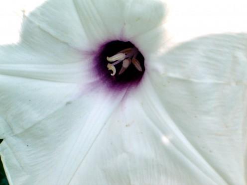 Close up wild potato vine flower.