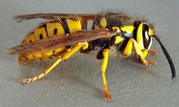 Yellow Jackets are very aggressive and will attack you if you approach their nest. Many people in the south mowing grass are attacked each year by the underground dwelling yellow jackets.