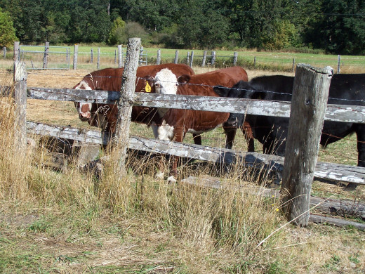 Lazy cattle on a hot day