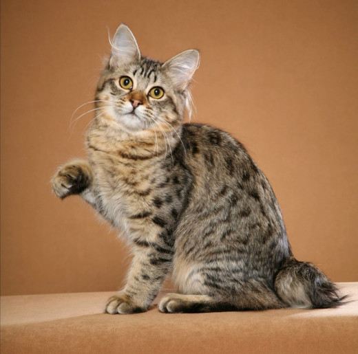 All About American Bobtail Cats