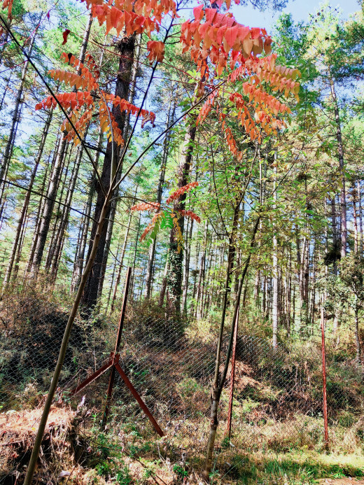 Huge trees, colorful leaves in Motithang Preserve