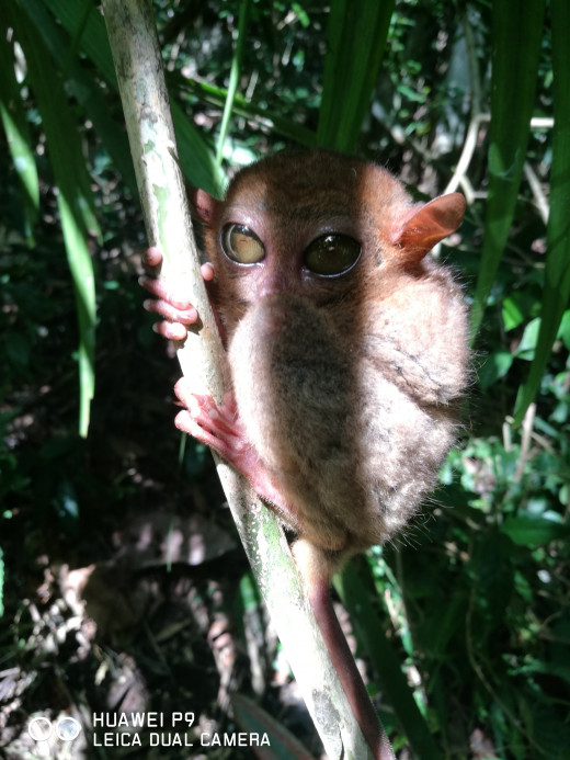 The smallest primate on earth, the Tarsier!