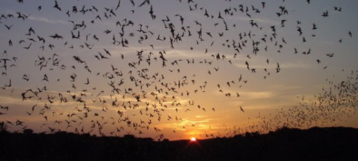 Bats are beneficial in that they consume enormous amounts of insects. But they also harbor dangerous pathogens, such as rabies and several types of coronavirus.