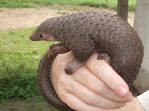 Native to Asia and Africa the pangolin is one of the most trafficked wild animals in the world. The anteater mammal is prized for its scales, which are made into a soup, prized for its medicinal value.