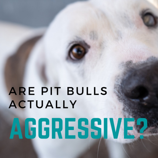 Are Pit Bulls Really More Aggressive Than Other Breeds?