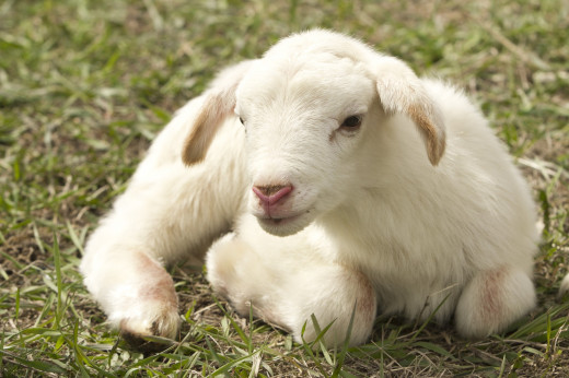 Pure and whiteness in young sheep, is a sign of a representation of remarkable in characters and immaculateness.