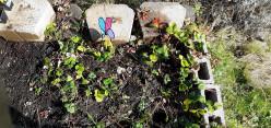 Some Tips on Gardening in Washington (Zone 8B)