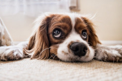 Powerful Pets: They can sense the presence of Covid-19