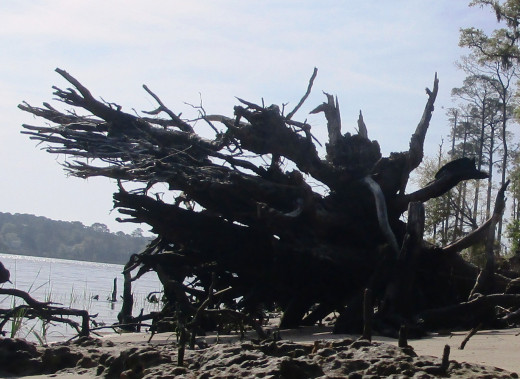 Dead tree roots look like they are reaching out asking for help