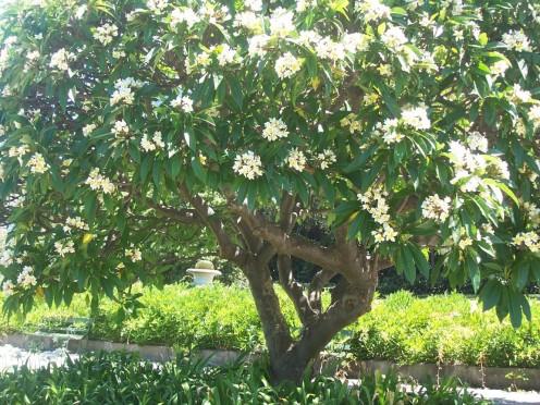 Frangipani Tree taken at Sydney Royal Botanic Garden.