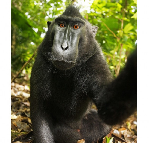 Full length self-portrait of a female Celebes crested macaque (Macaca nigra) in North Sulawesi, Indonesia.