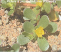 Purslane - An Herbal Recipe for Long Life