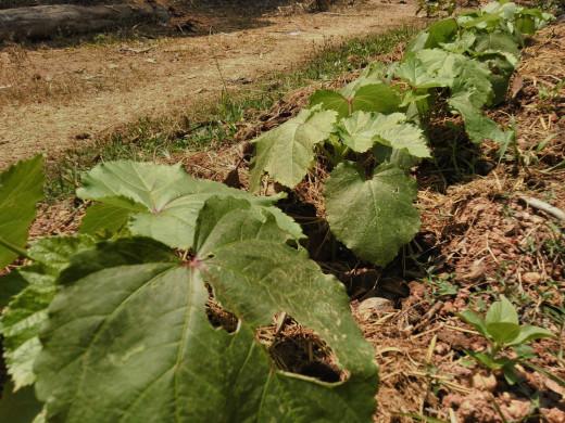 Okra or Ladies Finger (Abelmoschus esculentus) seedlings