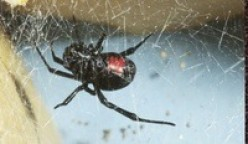 Black Widow Spider Facts