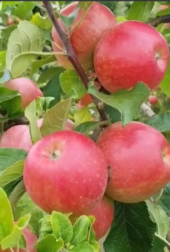 Apple: Health Benefits  & Murabba Recipe