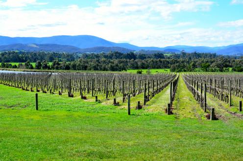 Vineyard at Yarra