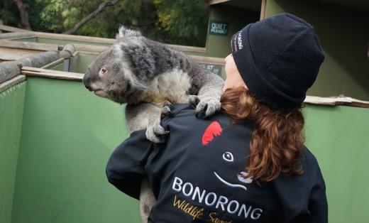Koalas are incredibly cute