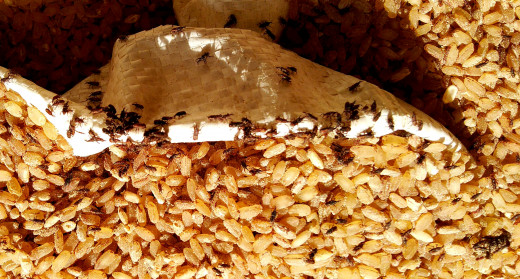 Rice weevils in enormous numbers feeding on stored grains