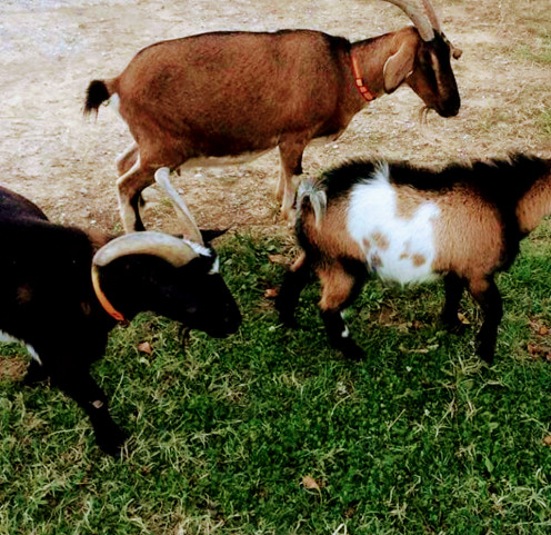 One of the main reasons I needed a solution to an ever growing fly problem was my livestock animals.